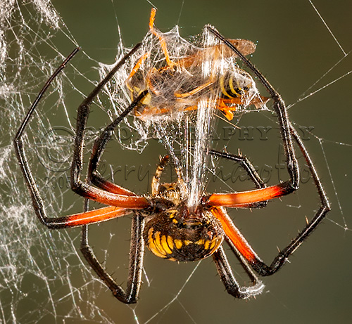 Argiope Spider wrapping a Hornet.