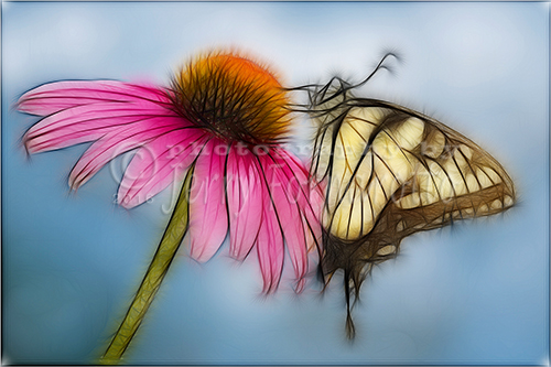 A creatively processed image of a Tiger Swallowtail on a Cone flower.
