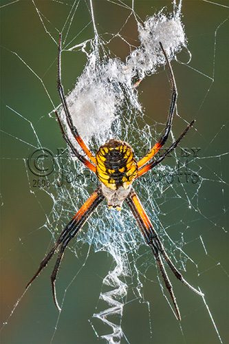 A Black-and-yellow argiope spider on its web.