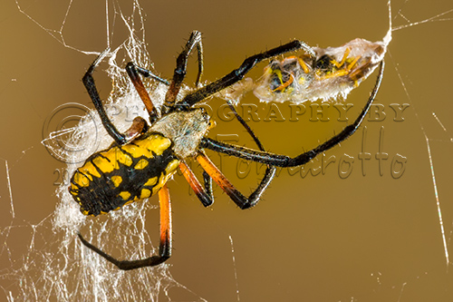Black and Yellow Argiope with Hornet