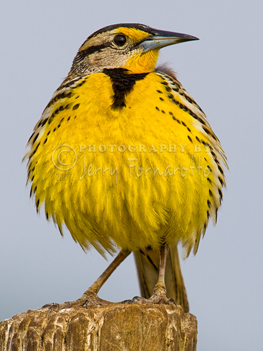 An adult Eastern Meadowlark is about 10 inches long. They can be found in grasslands, praires and hay fields.