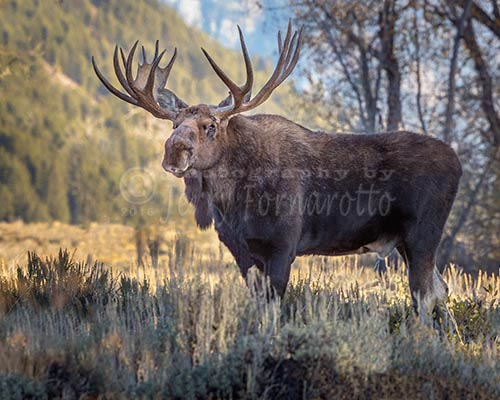 Bull Moose walking through sagebrush in the Grand Teton National Park.