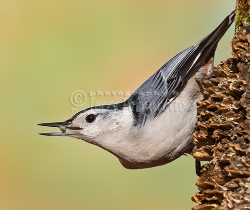 The white-breasted nuthatch forages for insects on trunks and branches and is able to move head-first down trees. Their winter diet is mostly seeds.