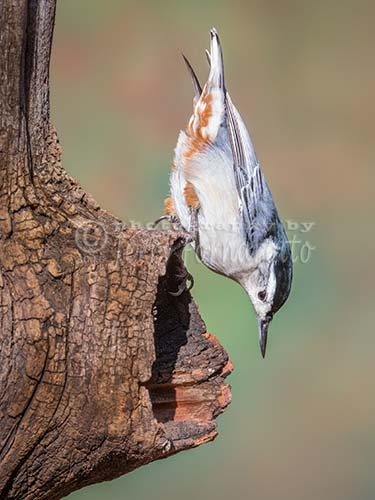 White-breasted Nutcatch on Knot