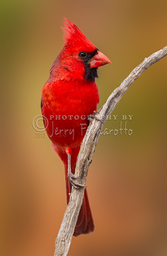 The Northern Cardinal can be found in southern Canada, through the eastern United States from Maine to Texas and south through Mexico.