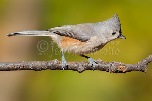 The tufted titmouse is a small North America songbird. They feed on insects, seeds, nuts and berries.