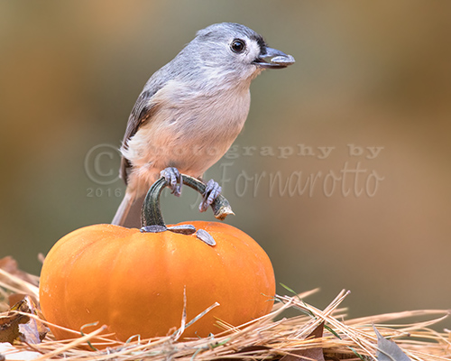 Tufted Titmouse on Pumpkin