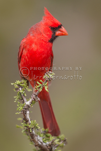 Northern Cardinal on Sprig