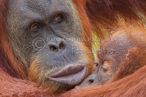 Organutan Mother and Baby