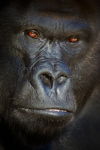 The western lowland gorilla can be found lowland swamps in central Africa.