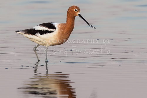 The avocet is a member of the stilt family. It is 20 inches in length, a wingspan of 30 inches and weights 14-15 onces. Avocets can be found throughout North America.