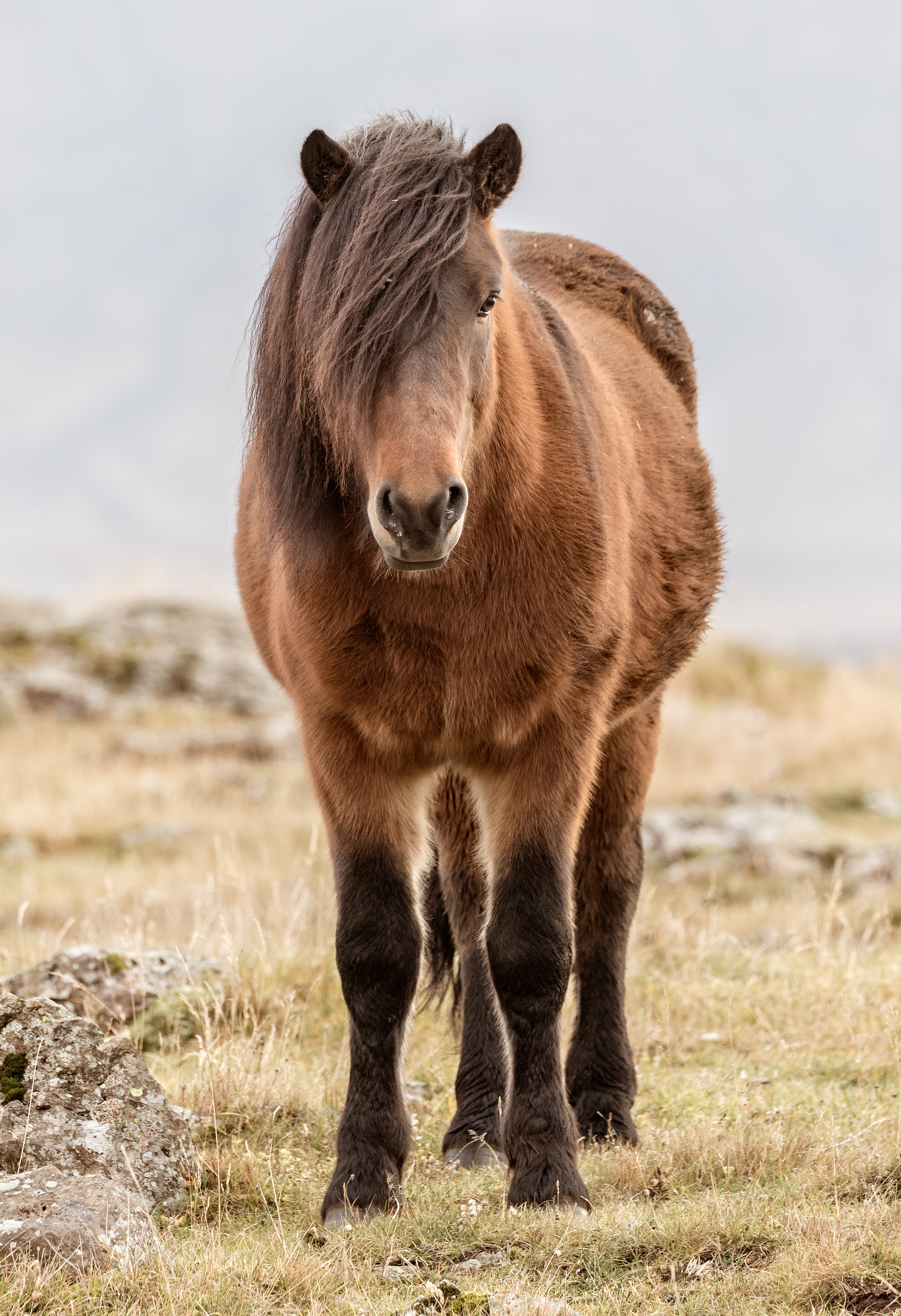 The Icelandic horse is a breed of horse developed in Iceland. These horse are small and sometimes pony size.