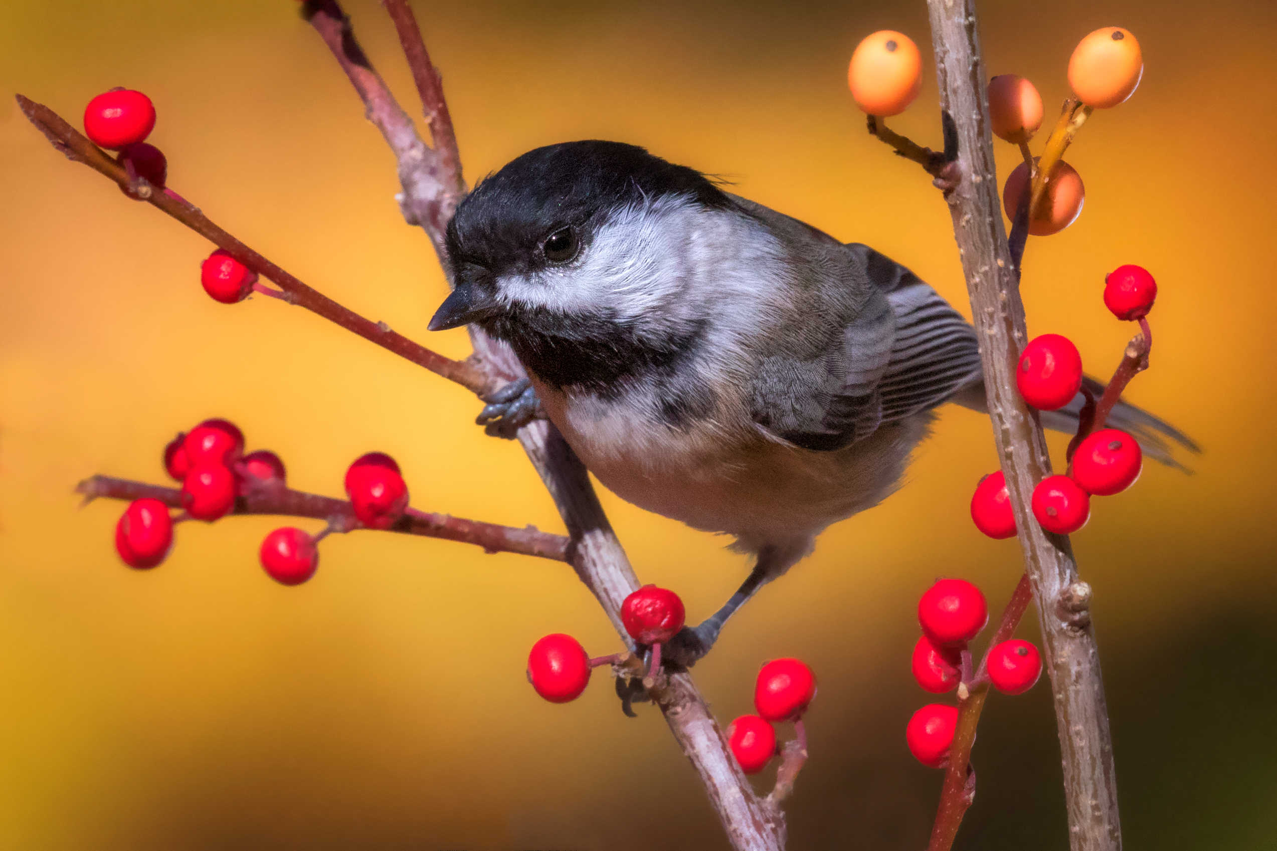 Black-capped Chickadee is a small nonmigratory song bird. It feeds insects, seeds and berries.